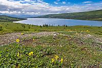 Lessings Arnica wildflowers blooming on the spring tundra, Wonder Lake, Denali National Park, Alaska