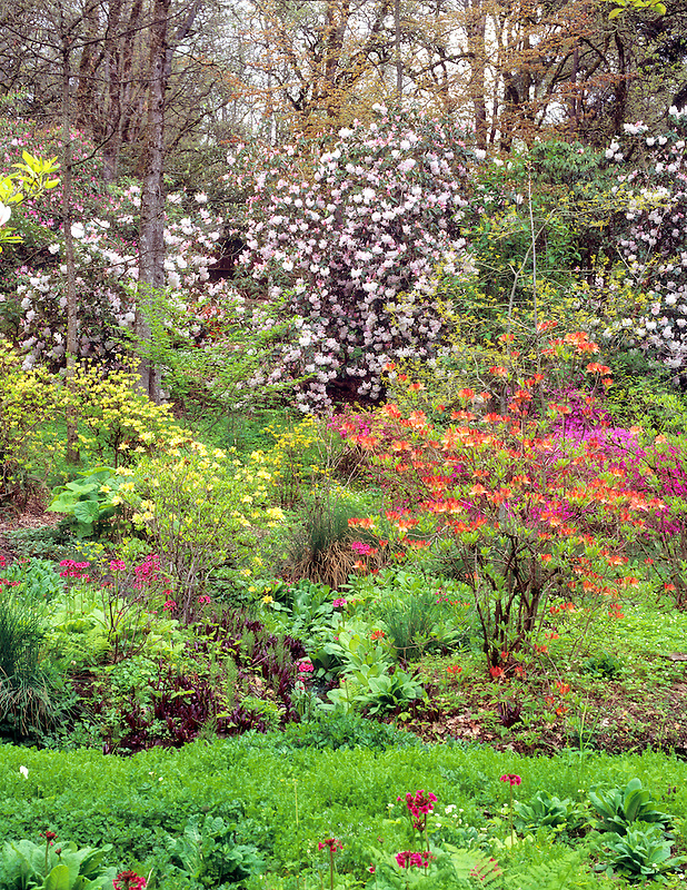 Garden with blooming rhododendrons at Hendricks Park. Eugene, Oregon.