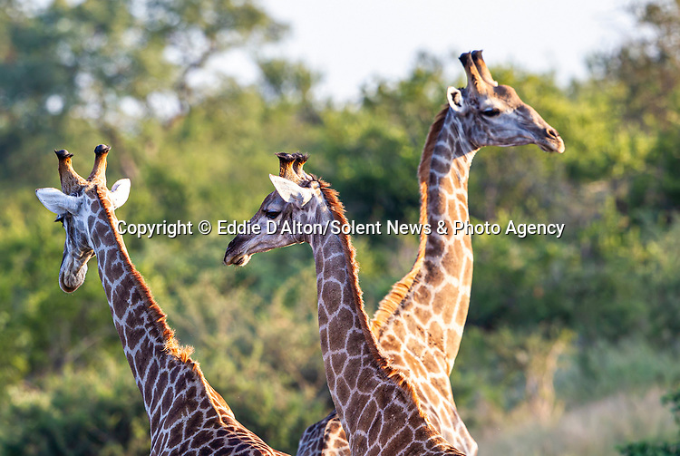 """REVEAL - SEE MAIN IMAGE:  THREE HEADED GIRAFFE...... Three giraffes converge together to create an intruiging optical illusion.<br /> <br /> Looking like a triple-headed marvel of nature, the photo of the long-necked mammals was captured in the Kruger National Park, by Eddie D'Alton from Pretoria, South Africa.<br /> <br /> Eddie said, """"It was quite a lucky picture, the moment was over quite rapidly.  As soon as I saw them I realised it would make for a nice picture.""""<br /> <br /> Please byline: Eddie D'Alton/Solent News<br /> <br /> © Eddie D'Alton/Solent News & Photo Agency<br /> UK +44 (0) 2380 458800"""