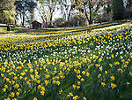 Colorful daffodils in bloom at the historic Daffodil Hill established by the Laughlin family in 1879 near Volcano, Amador Co., Calif.