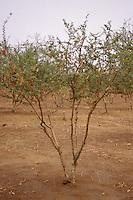 Gum Arabic.  Acacia Senegal tree, Niger, West Africa.