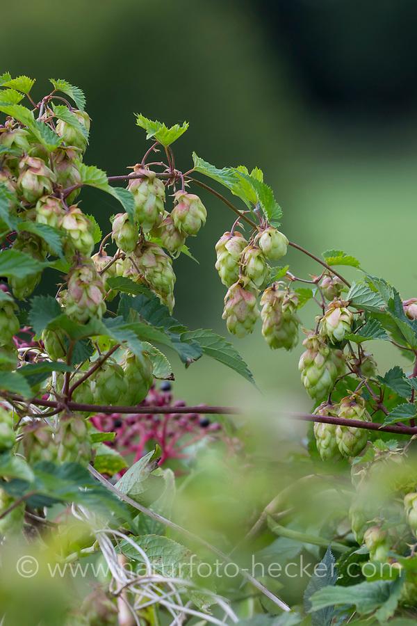 Hopfen, Hopfenzapfen, weibliche Pflanze, Weibchen, Gewöhnlicher Hopfen, Echter Hopfen, Humulus lupulus, Common Hop, Hop, hops, Le Houblon, Le houblon grimpant