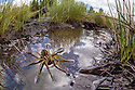 Raft Spider female {Dolomedes fimbriatus} resting on the surface of a moorland pool, photographed with a fisheye lens to show surrounding habitat. Nordtirol, Austrian Alps, June.