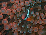 Red and Black Anemonefish in fire anemone, Bohol, Philippines 2016