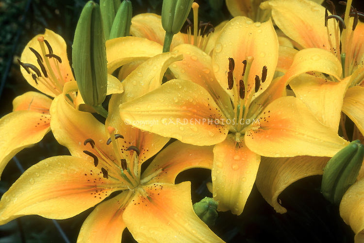 Lilium 'Pollyanna' (Asiatic Lily) yellow with orange center, slight spots.GR7496 lilies