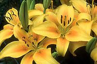 Lilium 'Pollyanna' (Asiatic Lily) yellow with orange center, slight spots.GR7496 lilies