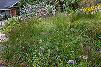 Lawn substitute with California native sedge, Carex pansa; Charlotte Torgovitsky garden