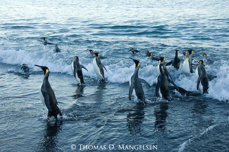 King Penguins leaving the ocean on Salisbury Plain in South Georgia.