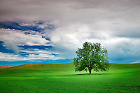 Lone tree and clouds in wheat field. The Palouse, Washington.
