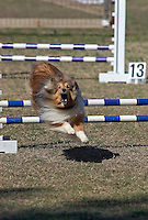 Shetland Sheepdog jumping during an agility competition in Gloucester, VA.