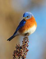 Male eastern bluebird at seed head
