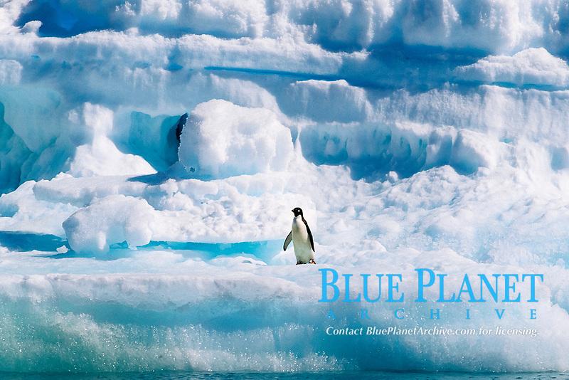 Adelie penguin, Pygoscelis adeliae, Paulette Island, Antarctica