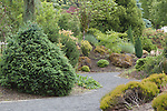 New growth shines in the Conifer Garden, Oregon Gardens.  Oregon Gardens, Silverton, Oregon, USA, an 80 acre botanical garden in the Willamette Valley.