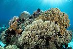 Leather coral, Litophyton sp, Alor Island, Nusa Tenggara, Indonesia, Pacific Ocean