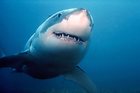 great white shark, Carcharodon carcharias, S. Australia, Pacific Ocean