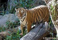 0328-1001  Malayan Tiger, Panthera tigris malayensis  © David Kuhn/Dwight Kuhn Photography.