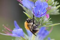 Ackerhummel, Acker-Hummel, Hummel, Weibchen, Blütenbesuch an Natternkopf, Natternzunge, Echium vulgare, Bombus pascuorum, Bombus agrorum, Megabombus pascuorum floralis, common carder bee, carder bee, female, le bourdon des champs