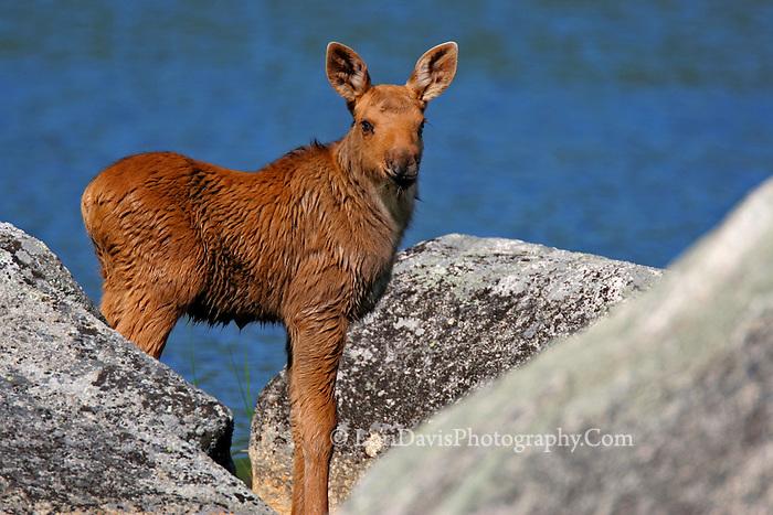 #M18 Moose Calf