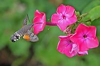 Taubenschwänzchen, im Schwirrflug vor Blüte, Nektarsuche, Blütenbesuch, Bestäubung, Saugrüssel, Taubenschwanz, Karpfenschwanz, Macroglossum stellatarum, Wanderfalter, Kolibrischwärmer, Kolibri-Schwärmer, Schwärmer, Sphingidae, Hummingbird Hawk-moth, Hummingbird Hawkmoth, Humming-bird Hawk-moth, Hummingmoth, Le Moro sphinx, Sphinx colibri, Sphinx du caille-lait, Sphingidae, sphinx moth, sphinx moths, hawkmoths, hawk moths