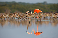 An adult American Flamingo (Phoenicopterus ruber) feeding its chick crop milk in the evening. Rio Lagartos Biosphere Reserve, Mexico. July.
