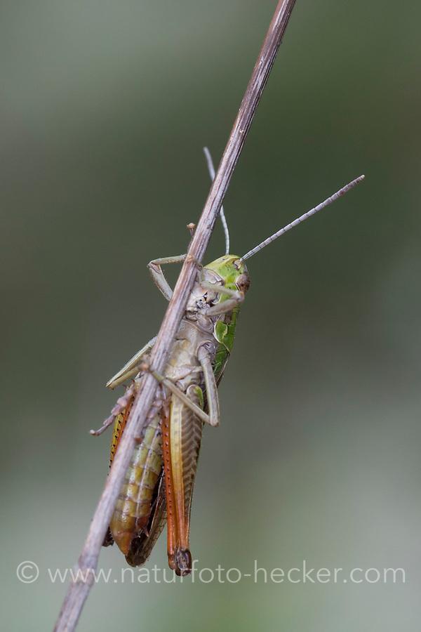 Heide-Grashüpfer, Heidegrashüpfer, Liniierter Grashüpfer, Panzers Grashüpfer, Grashüpfer, Männchen, Stenobothrus lineatus, stripe winged grasshopper, stripe-winged grasshopper, lined grasshopper, male, le sténobothre ligné, le criquet du brachypode