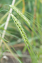Hordeum agriocrithon var. paradoxon, early July. A form of barley.