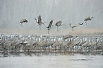 Sandhill cranes stand roosting in the shallow water of a sandbar as others take off into the spring snowstorm on an early morning on the Platte River in Nebraska.
