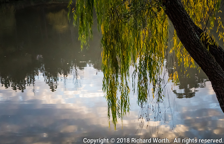 Long strands of green and autumn yellow leaves dangle over the fishing lake at Don Castro Regional Park while reflections of white and gray clouds, bits of blue sky, and trees on the opposite shore float on the water's surface.