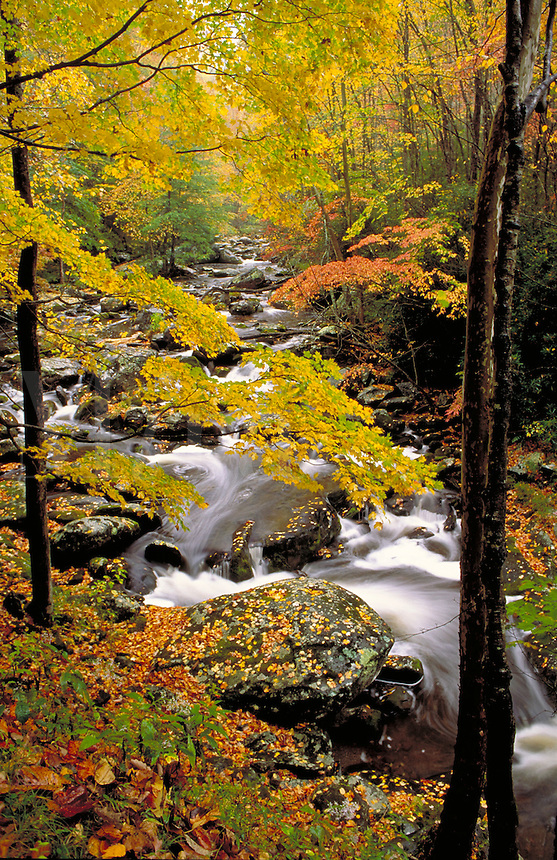Mountain stream flows beyond trees in autumn. fall foliage, colorful leaves. quiet, peaceful, tranquil, landscape, woods, forest. mountain stream, water, leaves. Tennessee, Cades Cove.