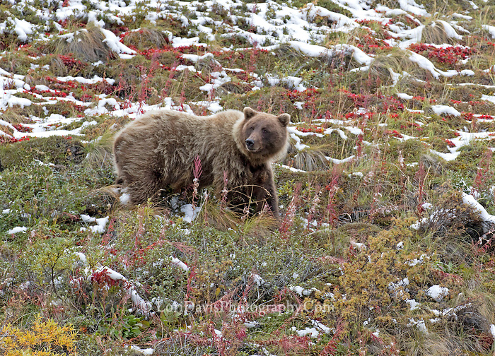 Grizzly finding berries