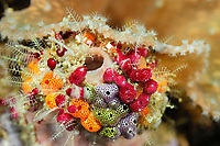 Cluster of colourful Sea Tunicates. Strawberry Tunicates (Didemnid sp.) Raja Ampat, West Papua, Indonesia, Pacific Ocean [size of single organism: 3 cm] | Farbenfrohe Manteltiere (Didemnid sp.)