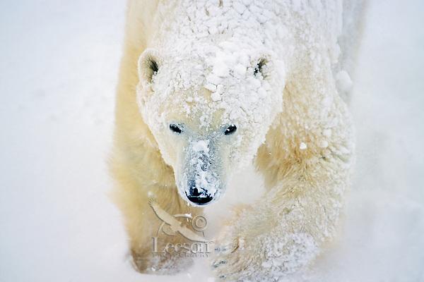 Polar bear (Ursus maritimus) walking in snowstorm.