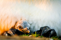 king penguin, Aptenodytes patagonicus, brooding chick, Volunteer Point, East Falkland, Falkland Islands, Atlantic Ocean