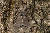 Buchen-Streckfuss, Buchen-Streckfuß, Buchenstreckfuß, Streckfuß, Rotschwanz, Buchenrotschwanz, Männchen, dunkle Form, Calliteara pudibunda, Dasychira pudibunda, Olene pudibunda, Elkneria pudibunda, pale tussock, red-tail moth, male, la Pudibonde, Trägspinner, Lymantriidae, Schadspinner, Wollspinner, Lymantriinae
