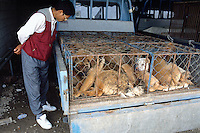 Korea. South Korea. Kimje area. Wonpyong. Dog market for dog meat.  Dogs in cage on the  back of a pick-up truck. Dog meat's retailler checks the dogs shape before putting a bid on their purchase. Dog meat is a delicatessen of korean traditionnal cooking. © 2002 Didier Ruef