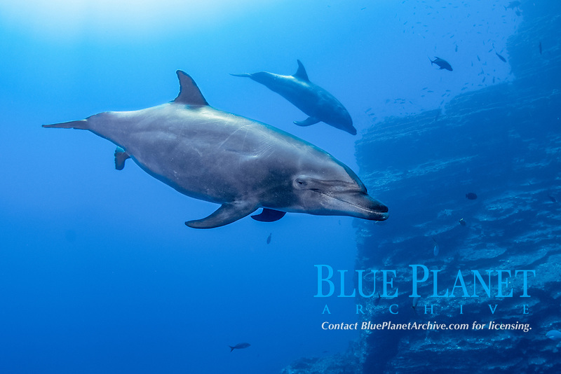 common bottlenose dolphin, Tursiops truncatus, adult, female, in the process of giving birth, The Boiler, San Benedicto Island, Revillagigedo Archipelago, Mexico, Pacific Ocean