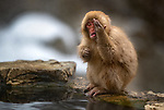 """HIDE AND PEEK: This snow monkey looks like it's playing a bad game of hide and seek. <br /> <br /> The mischievous monkey also appears to be mimicking the photographer as he covers his eye and sticks his tongue out whilst cheekily starting down the lens, before quickly running off.<br /> <br /> The picture was taken bu professional wildlife photographer Roie Galitz in Jigokudani, in the Japanese Alps in Japan.<br /> <br /> Mr Galitz said: I spent two days with the Japanese Snow monkeys in the sun and snow, and this one cheeky monkey decided to pull a very funny face.""""<br /> <br /> """"People have said he's imitating me, so I guess that's what I look like when I'm photographing! Monkey see – monkey do.""""<br /> <br /> Please byline: Roie Galitz/Solent News<br /> <br /> © Roie Galitz/Solent News & Photo Agency<br /> UK +44 (0) 2380 458800"""