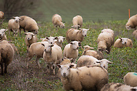 5/1/2021 Store lambs grazing stubble turnips<br /> ©Tim Scrivener Photographer 07850 303986<br />      ....Covering Agriculture In The UK....