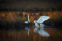 Trumpeter Swan family @ Anchorage's Potter Marsh Tuesday, Oct. 6, 2020