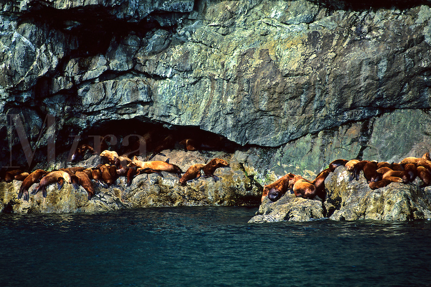 Seals Relaxing on the rock in the Sun  at Prince William Sound in Alaska USA