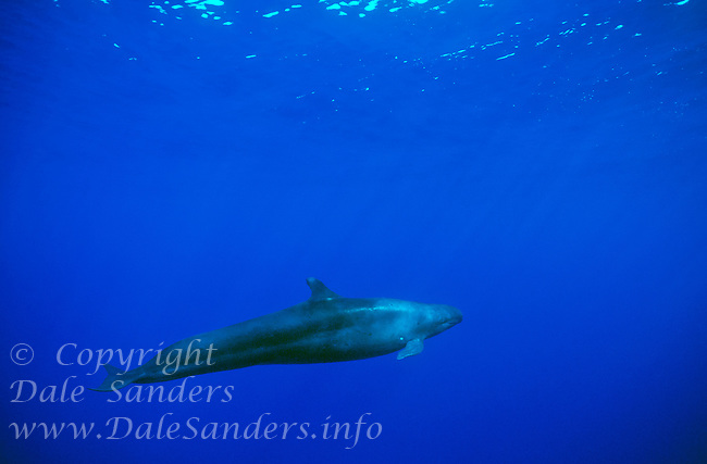 False Killer Whale (Pseudorca crassidens) underwater in the Pacific Ocean off Hawaii, USA.