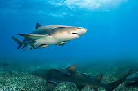 lemon shark, Negaprion brevirostris, with remora, sharksucker, swimming over seagrass bed, Bahamas, Atlantic Ocean
