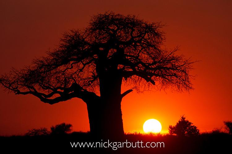 African Baobab (Adansonia digitata) silhouetted at sunset. Tarangire NP, Tanzania