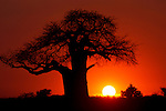 African Baobab (Adansonia digitata) silhouetted at sunset. Tarangire NP, Tanzania