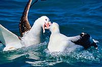 Altercation, Wandering Abatross, Diomedea exulans, Kaikoura Pennisula, South Island, New Zealand, Pacific Ocean