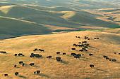 Buffalo on prairie