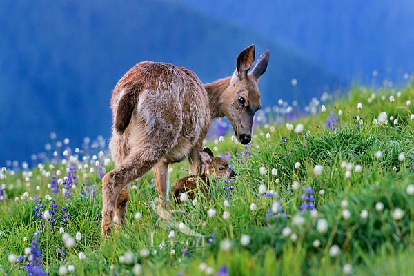 Columbian black-tailed deer (Odocoileus hemionus columbianus) doe and fawn in subalpine meadow.  Pacific Northwest.  Summer.