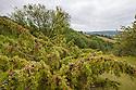 Juniper (Juniperus communis), Painswick Beacon, Gloucestershire. July.