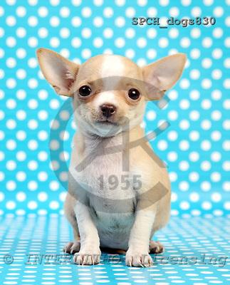 Xavier, ANIMALS, dogs, photos, SPCHDOGS830,#a# Hunde, perros