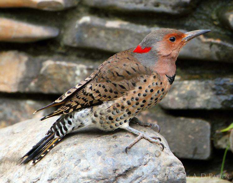 Female yellow-shafted northern flicker